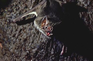 Vampire Bat (Desmodus rotundus)  -  Stephen Dalton