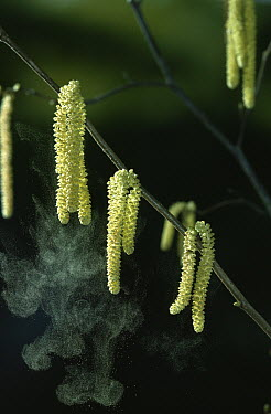 Hazelnut (Corylus avellana) male flowers shedding pollen  -  Stephen Dalton
