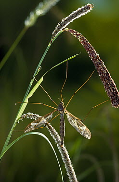 Giant Crane Fly (Tipula maxima) on weed  -  Stephen Dalton