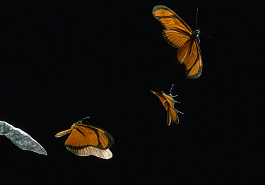 Heliconid Butterfly (Heliconius antiochus) flying, multiflash image  -  Stephen Dalton