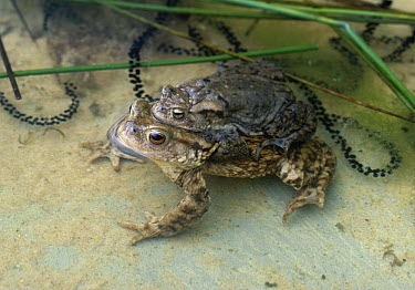 European Toad (Bufo bufo) pair in amplexus with strings of spawn  -  Stephen Dalton