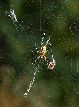 Wasp Spider (Argiope bruennichi) on web with prey  -  Stephen Dalton