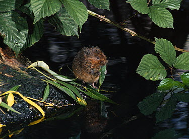Water Vole (Arvicola terrestris) eating willow leaf  -  Stephen Dalton