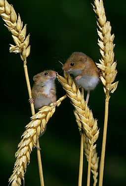 Harvest Mouse (Micromys minutus) two on ears of wheat  -  Stephen Dalton