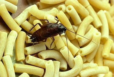 Oriental Cockroach (Blatta orientalis) on macaroni  -  Stephen Dalton