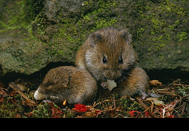 Field Vole (Microtus agrestis) with young  -  Stephen Dalton