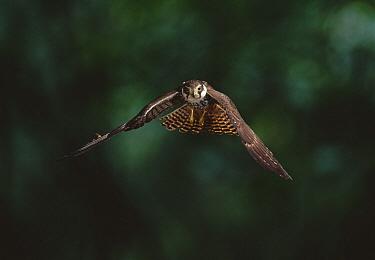 Eurasian Hobby (Falco subbuteo) flying  -  Stephen Dalton