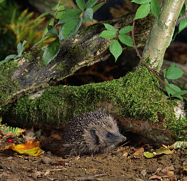 Brown-breasted Hedgehog (Erinaceus europaeus) emerging from under log  -  Stephen Dalton