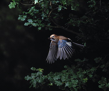Eurasian Jay (Garrulus glandarius) flying in oakwood, Sussex, southern England  -  Stephen Dalton