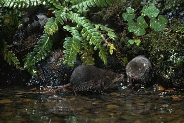 Eurasian Water Shrew (Neomys fodiens) two at water's edge  -  Stephen Dalton