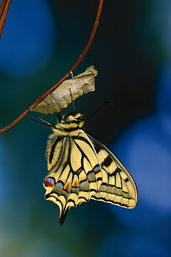 Oldworld Swallowtail (Papilio machaon) emerging from pupa, note spiracles  -  Stephen Dalton