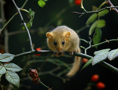 Common Dormouse (Muscardinus avellanarius) on branch in hedgerow  -  Stephen Dalton
