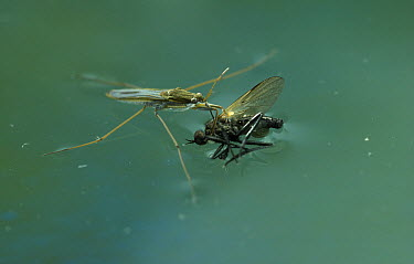Common Pondskater (Gerris lacustris) with prey  -  Stephen Dalton