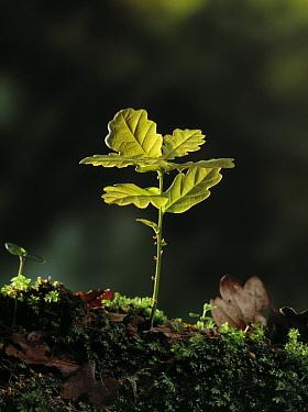 English Oak (Quercus robur) seedling  -  Stephen Dalton