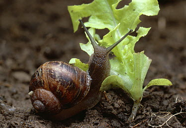 Brown Garden Snail (Helix aspersa) eating young lettuce  -  Stephen Dalton