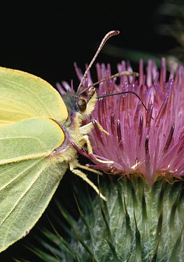 Brimstone (Gonepteryx rhamni) using proboscis to feed at thistle flower  -  Stephen Dalton