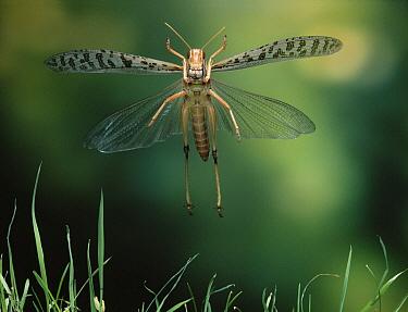 Desert Locust (Schistocerca gregaria) flying  -  Stephen Dalton