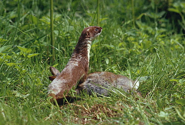 Short-tailed Weasel (Mustela erminea) with rabbit prey  -  Stephen Dalton