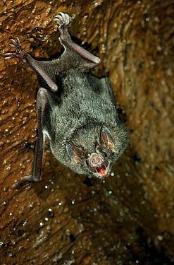 Vampire Bat (Desmodus rotundus) hanging upside down from rock wall  -  Stephen Dalton