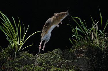 Yellow-necked Field Mouse (Apodemus flavicollis) jumping  -  Stephen Dalton