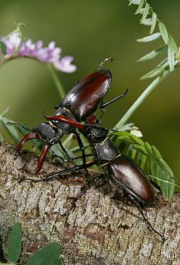 Stag Beetle (Lucanus cervus) males fighting, United Kingdom  -  Stephen Dalton