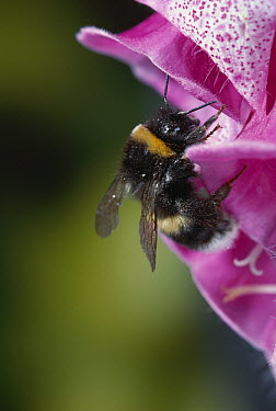 White-tailed Bumblebee (Bombus lucorum) on foxglove  -  Stephen Dalton
