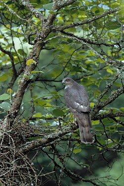Eurasian Sparrowhawk (Accipiter nisus) at nest  -  Stephen Dalton
