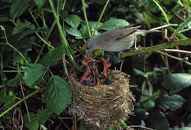 Blackcap (Sylvia atricapilla) female feeding young in nest  -  Stephen Dalton