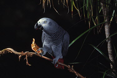 African Grey Parrot (Psittacus erithacus) feeding on seed pod  -  Stephen Dalton