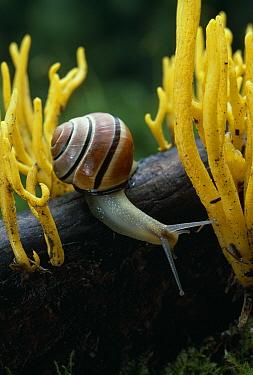 Brown-lipped Snail (Cepaea nemoralis)  -  Stephen Dalton
