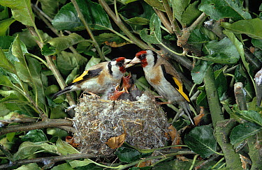 European Goldfinch (Carduelis carduelis) pair at nest with young  -  Stephen Dalton