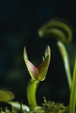 Venus Fly Trap (Dionaea muscipula) open insectivorous plant, trap closed by insect touching trigger hairs at base of leaf  -  Stephen Dalton