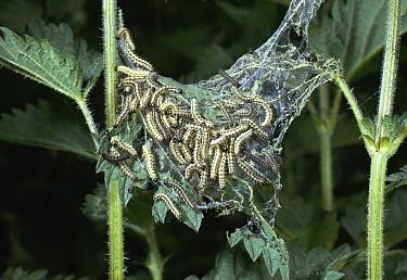 Small Tortoiseshell (Aglais urticae) mass of caterpillars on stinging nettle  -  Stephen Dalton