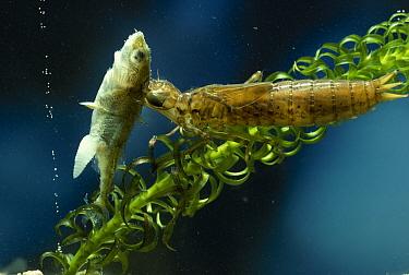 Hawker (Aeshna sp) larva eating stickleback  -  Stephen Dalton