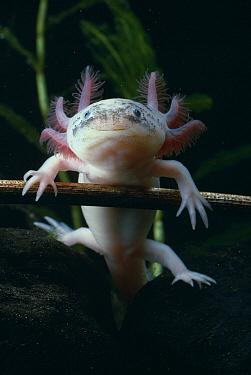 Mexican Axolotl (Ambystoma mexicanum) nektonic, reproductive larva  -  Stephen Dalton