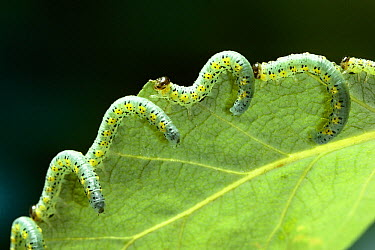 Sawfly larva on poplar leaf  -  Stephen Dalton