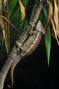 Crested Chameleon (Chamaeleo cristatus) changing color. Sequence 1 of 2  -  Stephen Dalton