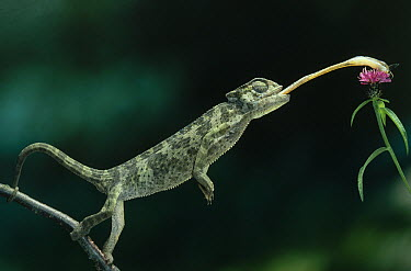 Mediterranean Chameleon (Chamaeleo chamaeleon) catching insect with tongue. Sequence 2 of 2  -  Stephen Dalton