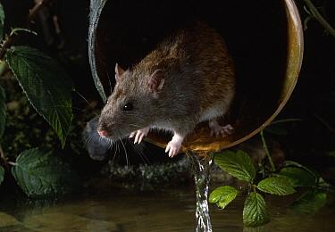 Brown Rat (Rattus norvegicus) in land drain outflow  -  Stephen Dalton