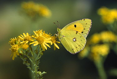Clouded Yellow (Colias croceus) butterfly, on flower  -  Stephen Dalton