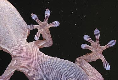 Gecko (Tarentola sp) on window showing feet gripping glass  -  Stephen Dalton