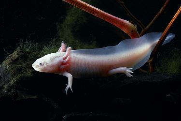 Mexican Axolotl (Ambystoma mexicanum) neotenic larva  -  Stephen Dalton