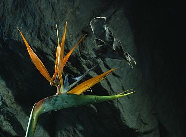 Geoffroy's Tailless Bat (Anoura geoffroyi) and flower  -  Stephen Dalton