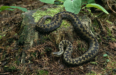 Common European Adder (Vipera berus) on tree stump  -  Stephen Dalton