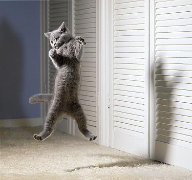British Blue Cat (Felis catus) in mid-air  -  Stephen Dalton