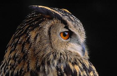 Eurasian Eagle-Owl (Bubo bubo) portrait, Europe  -  Stephen Dalton