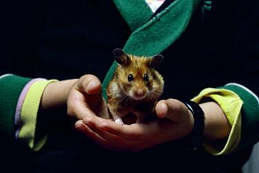 Golden Hamster (Mesocricetus auratus) in hands of child  -  Stephen Dalton