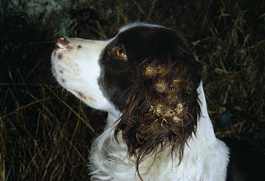 Domestic Dog (Canis familiaris) Spaniel with burrs on its ears, example of animal seed dispersal  -  Stephen Dalton