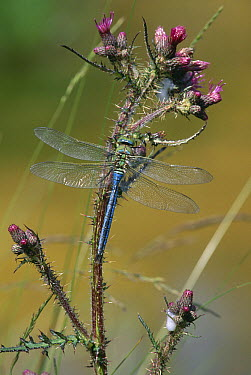 Emperor Dragonfly (Anax imperator) male on thistle  -  Stephen Dalton