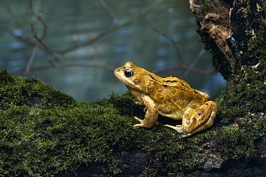 Common Frog (Rana temporaria) on log  -  Stephen Dalton